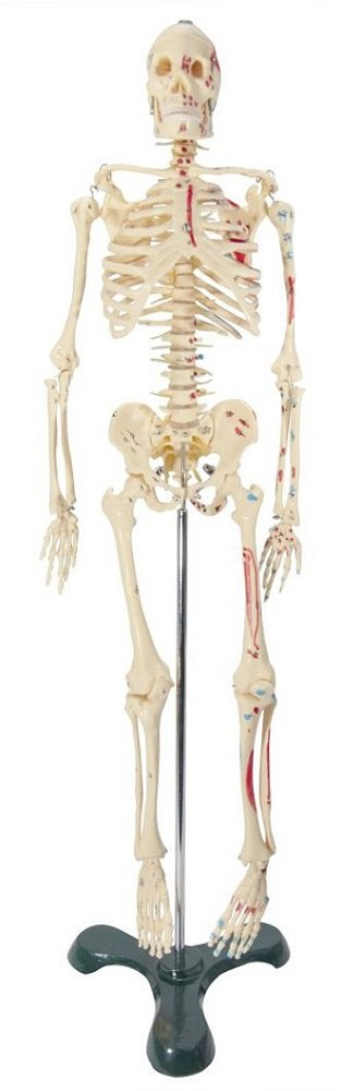 3. Anatomical Chart Company 25 inches Tall