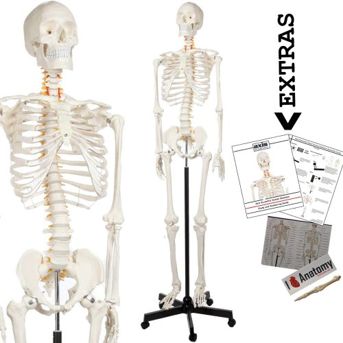 5. Axis Scientific 5 Feet 6 inches Anatomical Skeleton